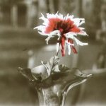 redchrysanthemem